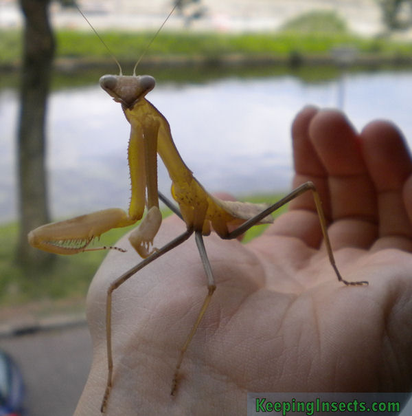 Large Creature Resembling Praying Mantis Spotted in Waller ...